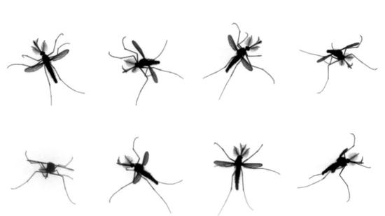 8个视角下蚊子的飞行视图 图源:nature video