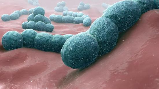 会造成人类肺炎的肺炎链球菌Streptococcus pneumoniae图片来源:wikipedia