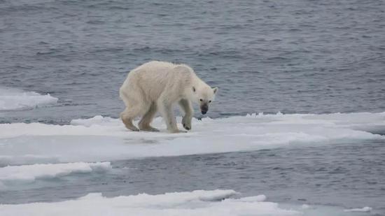 一只饥饿的北极熊。 来自网络;摄影师AndreasWeith