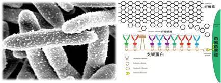 热纤梭菌和其表面的纤维小体