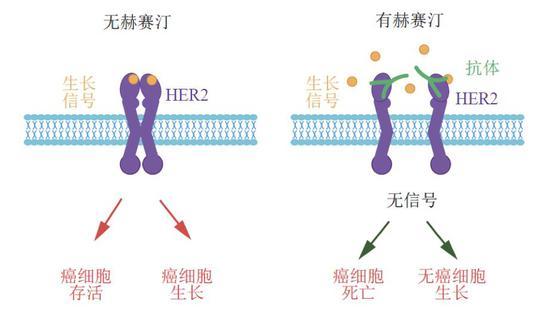 图:赫赛汀按捺HER2信号和癌细胞助长