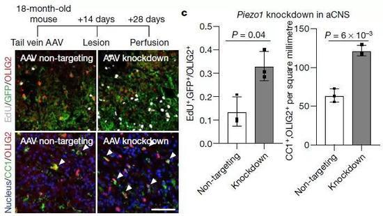 ▲特異性敲除OPC中的Piezo1蛋白,年老小鼠的細胞功能得到恢復(圖片來源:參考資料[1])