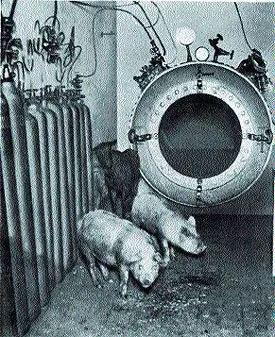 减压实验所用的猪和山羊