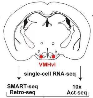 ▲小鼠大脑切面中,红色指示的就是下丘脑VMHvl(图片来源:参考资料[1])