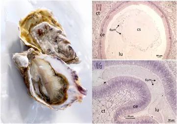 在被污染牡蛎的胃和肠中观察到6 µm的聚苯乙烯微珠