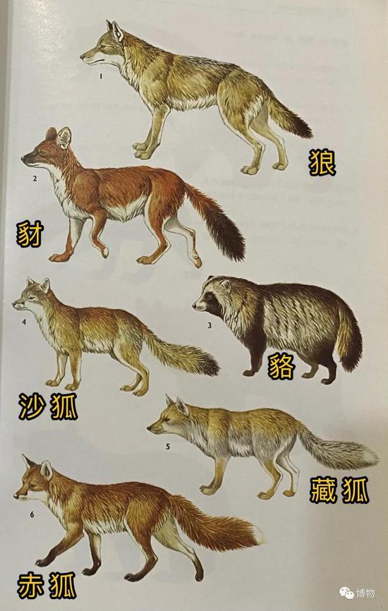犬科动物一览