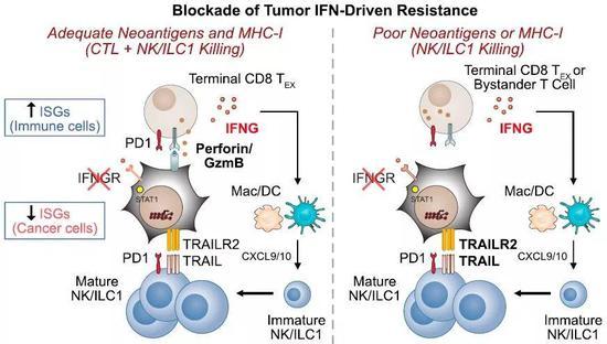 ▲阻断肿瘤细胞的干扰素信号,适应性免疫和固有免疫均得到加强(图片来源:参考资料[1])