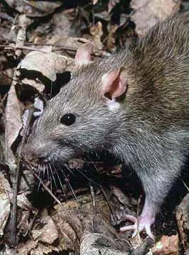 大鼠 图源:Wikipedia