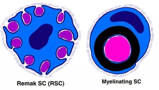 ▲Schwann细胞(蓝色)以两种形式缠绕在不同粗细的神经轴突外围(图片来源:参考资料[3])