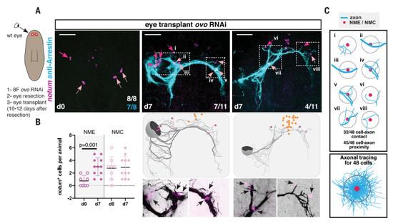 两类肌肉细胞协助移植后的眼睛铺好神经通路