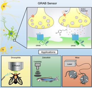 新型可遗传编码神经递质荧光探针的开发及应用