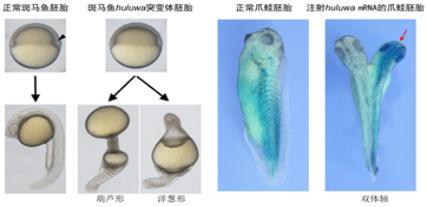 斑马鱼huluwa基因突变导致组织中心(箭头)缺失及无体轴,