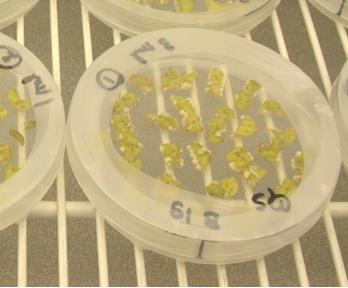 行使农杆菌转化的茄子。图源:Wikipedia。
