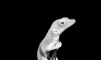 首次用于爬行动物基因编辑技术制造出白化蜥蜴