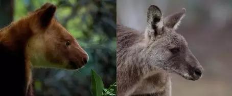 左图为吃嫩枝的树袋鼠,脸部较为圆滚滚;右图为吃草的东部灰大袋鼠,脸部明显更加修长(图片来源:Dr。 Rex Mitchell, University of New England。原创)