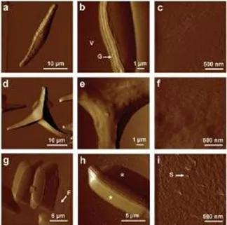 三角褐指藻原子力显微镜图片