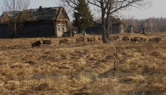 禁区内一群野猪经过一个废舍的乡下。图片来源:theguardian.com