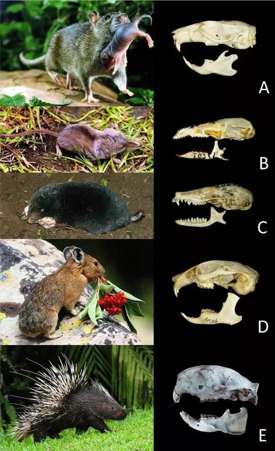 图2 褐家鼠(A);钱鼠(鼩鼱,B) 地鼠(鼹鼠,C);鸣声鼠(鼠兔,D)豪猪(E)
