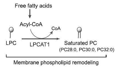 ▲LPCAT1將溶血磷脂酰膽堿(LPC)轉變為飽和磷脂酰膽堿(PC)(圖片來源:參考資料[1])