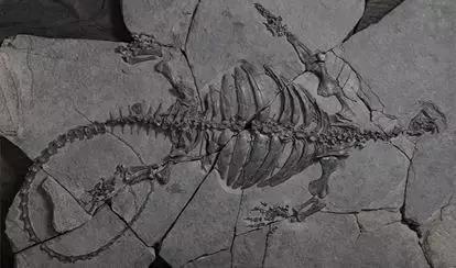 """Eorhynchochelys始喙龟,Eo是""""肇端""""的意思,rhyncho是""""喙"""",也发明于中国贵州关岭,珍藏于三亚海洋古生物博物馆(筹建中)。图片来源:中国科学院古脊椎动物与古人类研讨所"""