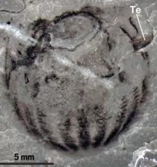 这是一只栉水母,具有双辐射对称性。
