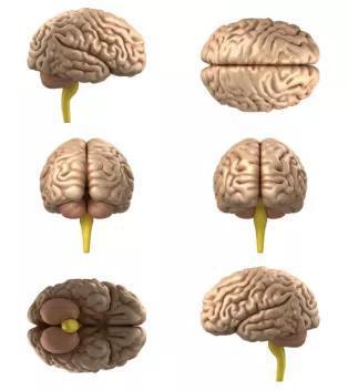 """我们讨论的是上面这种""""大脑""""(图片来源:Veer图库)"""