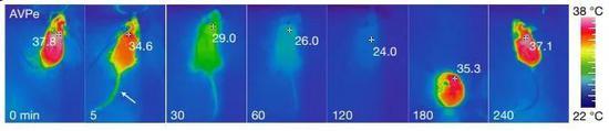 ▲短暂激活Q神经元后,幼鼠的中央体温从37℃降矮到24℃