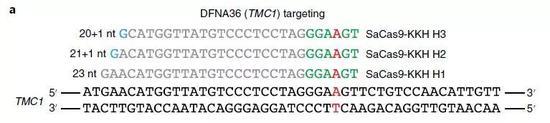 ▲经过优化的CRISPR-Cas9特异性靶向人类TMC1突变细胞中的单个碱基突变(图片来源:参考资料[1])