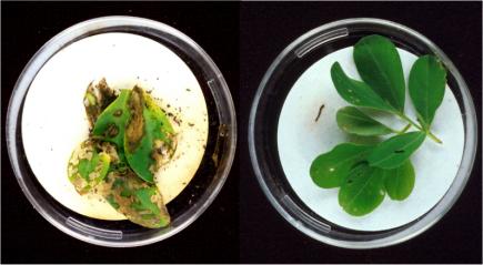 野生型(左)和转基因型(右)花生同时暴露于玉米螟幼虫,图源Wikipidia