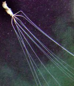 巨大(指手臂长度)的巨鳍乌贼,可达4-8米。图片来源:维基百科