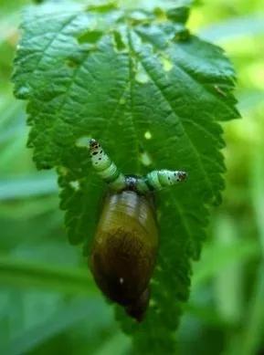 早起的虫儿被鸟吃。一只被寄生虫控制的琥珀螺在想,大早上的,我一个夜行性动物起来干啥?图片来源:Tomasz Wesolowski