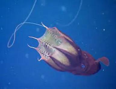 幽灵蛸长长的第二附肢(细丝状触腕)和内部密布的须。图片来源:CR2 - Weebly