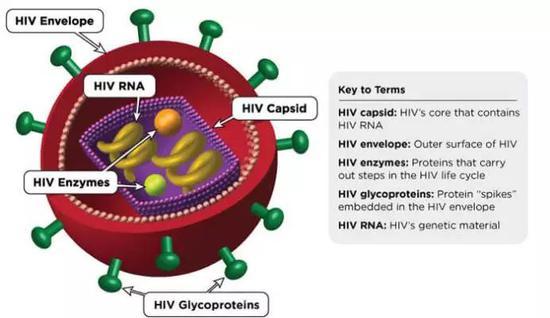 图 | HIV病毒结构
