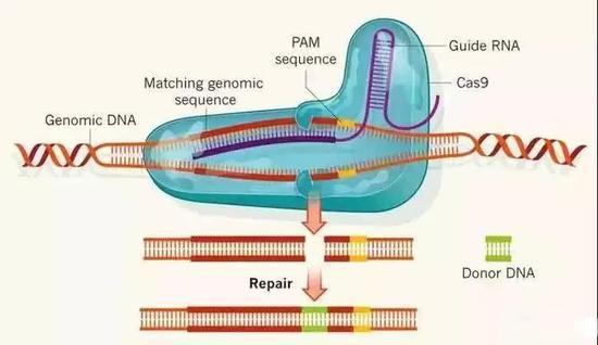 CRISPR/Cas9的基因编辑原理
