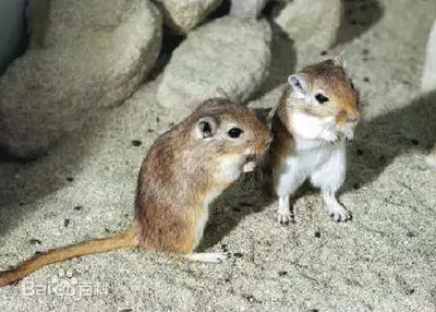 图8。长爪沙鼠Meriones unguiculatus(图片来源:搜狗图片)