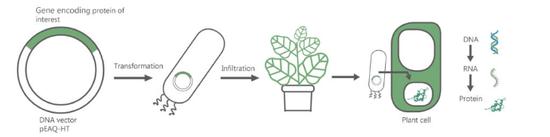 如何实现作物转基因过程的示意图,图源leafexpressionsystems.com