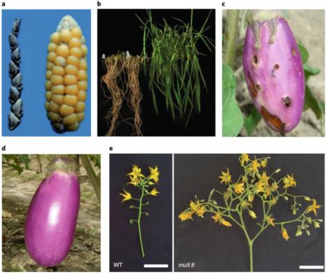 图a,玉米先人大刍草(左)与经过几千年驯化后的玉米(右);图b,sub1a-1基因授予了水稻抗涝性(被淹后恢复两周);图c-d,清淡茄子(c)与Bt茄子(d);图e,野生型番茄的花与经Cas9靶向突变MULTIFLORA基因座后番茄的花,图源Nature Food