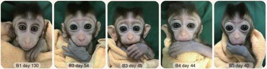 5只生物节律核心基因bmal1敲除的克隆猴。中科院神经所提供