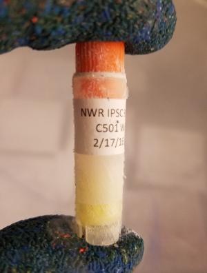 ▲一管冷冻的北白犀的人工诱导干细胞。(来源:nature.com)