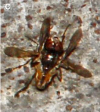 苍蝇交配过程中,雌性在下方,雄性在上方