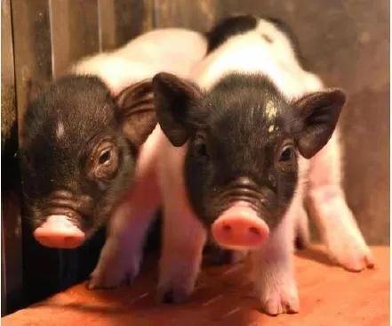 这些小猪,有望为人类提供移植器官!异种器官移植研究进展