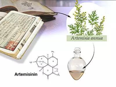 ▲源于植物的青蒿素是有效的抗瘧藥物(圖片來源:諾貝爾獎官網)