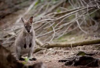 红颈袋鼠,其实是一种很可爱的小型到中型袋鼠