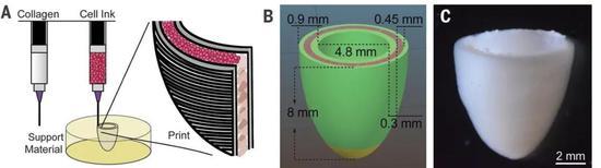▲用胶原蛋白和细胞两种生物墨水打印出人工心室(图片来源:参考资料[1])