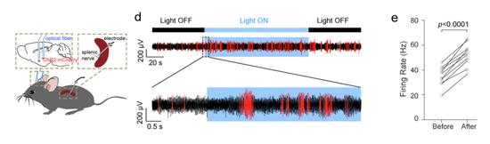 光遗传学的方法检验CRH神经元对脾神经的调控