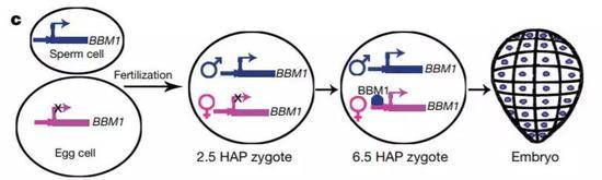 ▲BBM1基因是启动胚胎发育的开关(图片来源:参考原料[1])