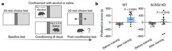 ▲酒精通过ACCS2影响了小鼠对空间的偏好(图片来源:参考资料[1])