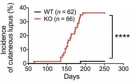 ▲敲除PD-1H的雌性小鼠发展出与红斑狼疮类似的皮肤损伤症状(图片来源:参考资料[1])