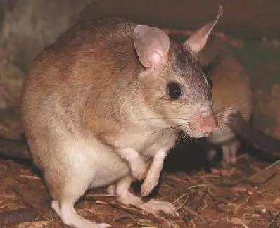 马达加斯加大跳鼠(the Malagasy giant jumping rat)
