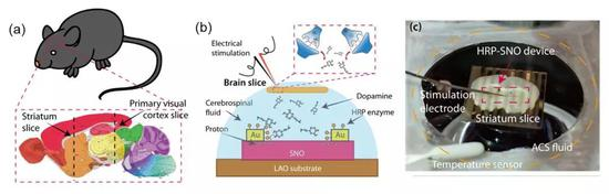 (a)和(b)基于SNO的器件和小鼠大脑结合的示意图.(b)小鼠大脑和实验器件接合的实物图.